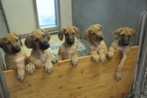 Rhodesian Ridgeback puppies for sale, NJ